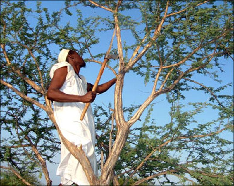 منتجي الصمغ العربي بشمال كردفان : 50% من أشجار الهاشاب لم يتم طقها